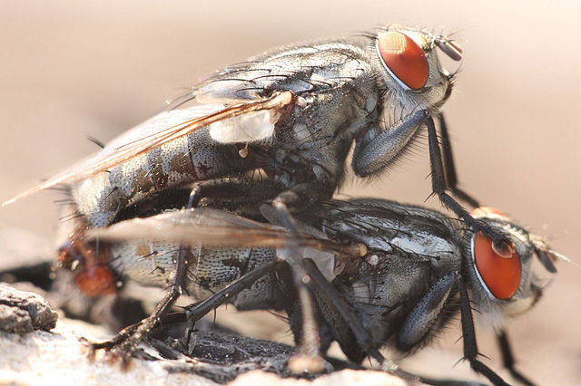 640px-Fly_Mating.jpg
