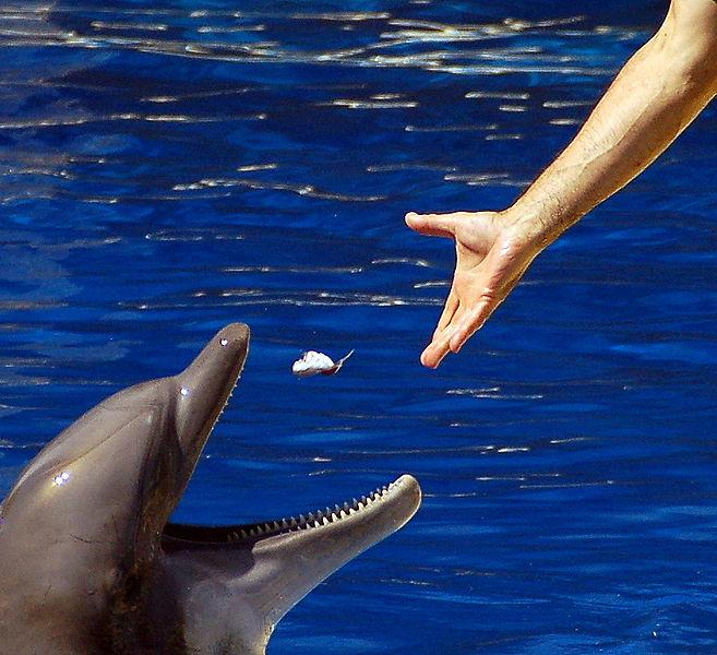 César Astudillo_657px-Alimentando_a_delfin.jpg