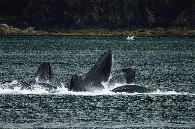 Evadb_640px-Whales_Bubble_Net_Feeding.jpg