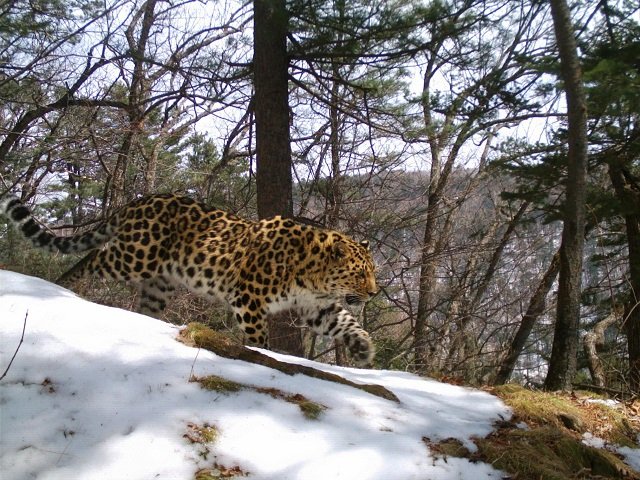 male of leopard_foto by cameratrap_ copyrigh LLNP_s.jpg