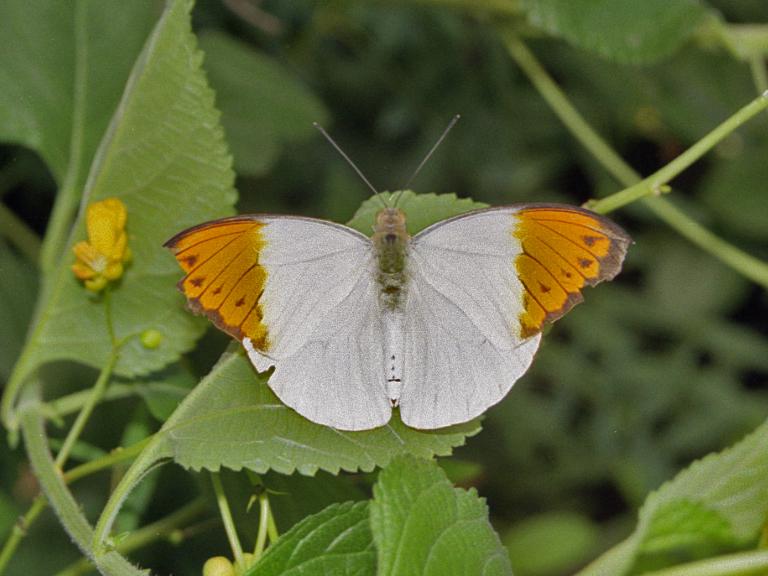 Hectonichus_Nymphalidae_-_Hebomoia_glaucippe.jpg