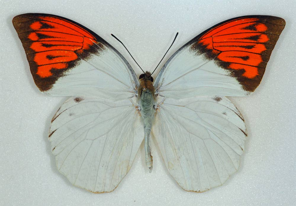 poisonous-butterfly.jpg