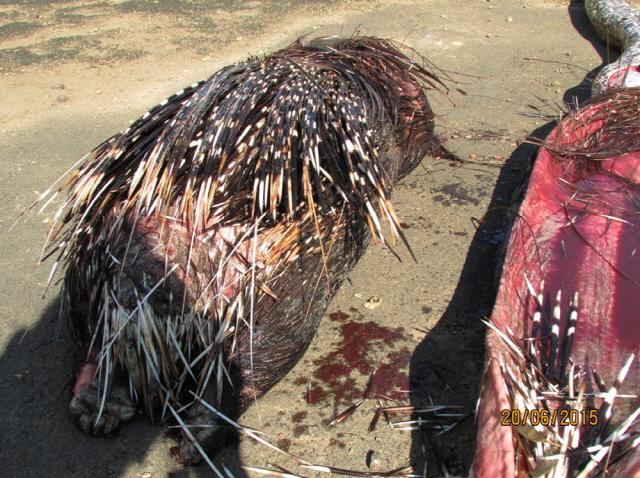 porcupine-dead.jpg