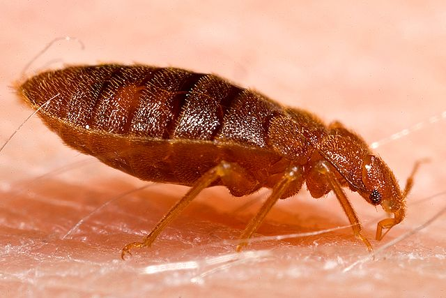 cdc_640px-Adult_bed_bug,_Cimex_lectularius.jpg