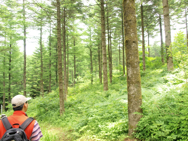 특수조림지의 전나무 숲_직경 16~18센티미터 직경으로 자랐다.jpg