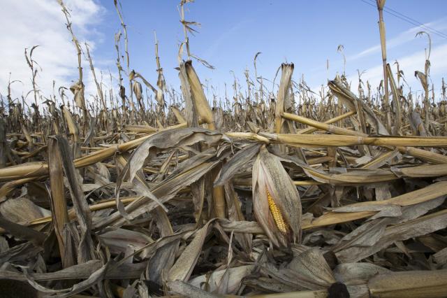 미국 캘리포니 아 농장의 옥수수가 지난해 여름 극심한 가뭄으로 말 라버린 모습_뉴시스 AP.jpg