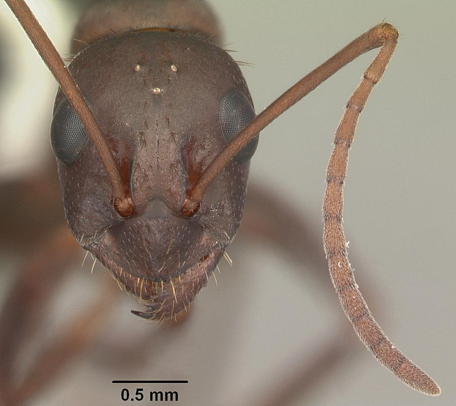 April Nobile_Formica_archboldi_casent0103921_head_1.jpg