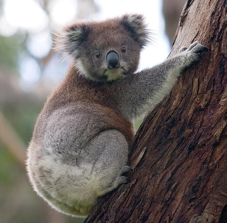 Diliff_781px-Koala_climbing_tree.jpg