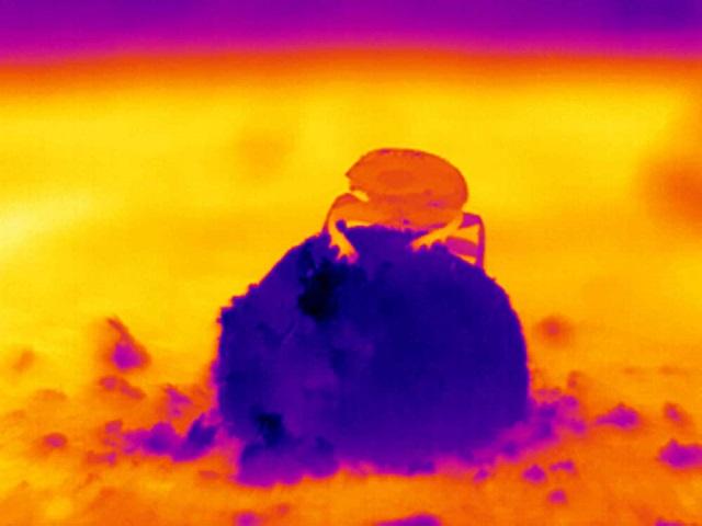 » 배설물 경단 위에 오른 남아프피카 사바나 쇠똥구리의 적외선 사진. 푸른색이 낮은 온도, 붉은색은 높은 온도를 가리킨다. 사진=요켄 스몰카.jpg
