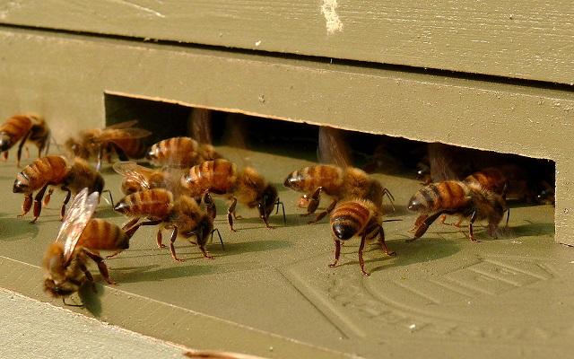 Ken Thomas _1280px-Honeybees-27527-1.jpg