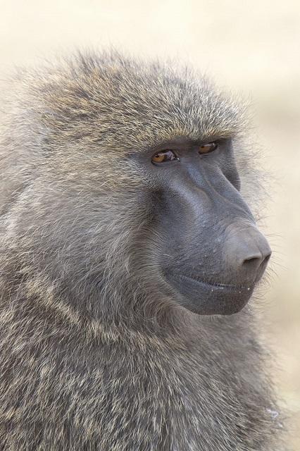 Yathin S Krishnappa_800px-Papio_anubis_(Serengeti,_2009)_s.jpg