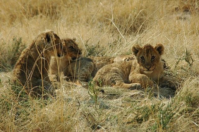1024px-Namibie_Etosha_Lionceaux_01.jpg