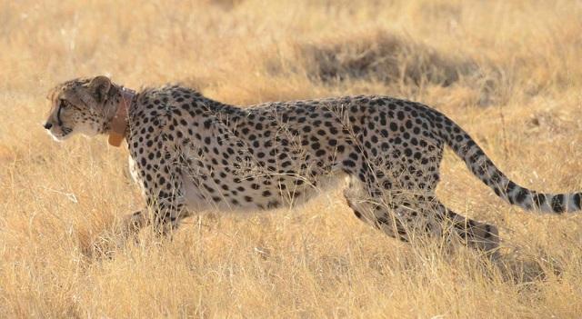 cheetah-collar_ss.jpg