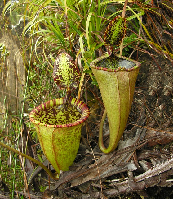 s_Nepenthes attenboroughii Copyright Stewart McPherson.jpg