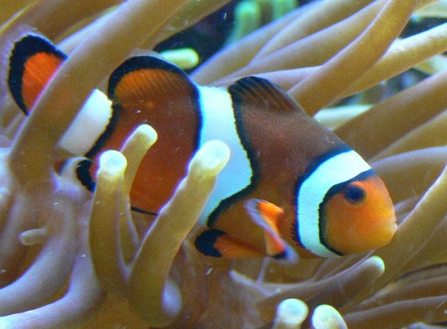Alex Giltjes_Amphiprion_percula.jpg