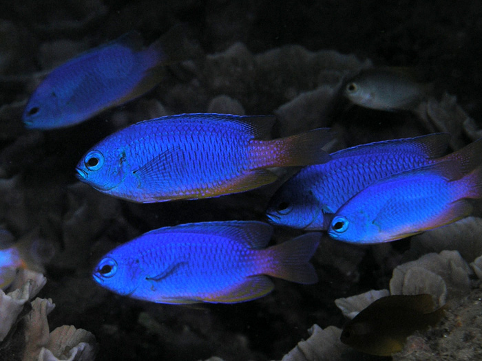 Nick Hobgood _Neon_damselfish.jpg