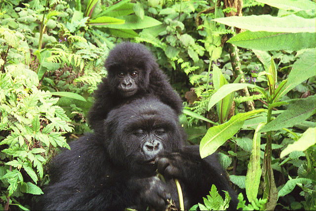 640px-Gorilla_mother_and_baby_at_Volcans_National_Park.jpg