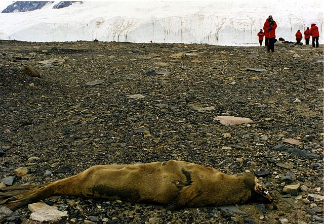 Mummified_Seal_Carcas_in_McMurdo_Dry_Valleys.jpg