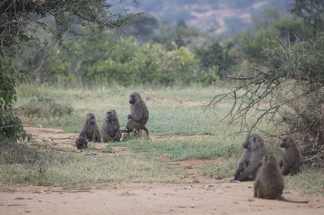 baboon_ROB NELSON2.jpg