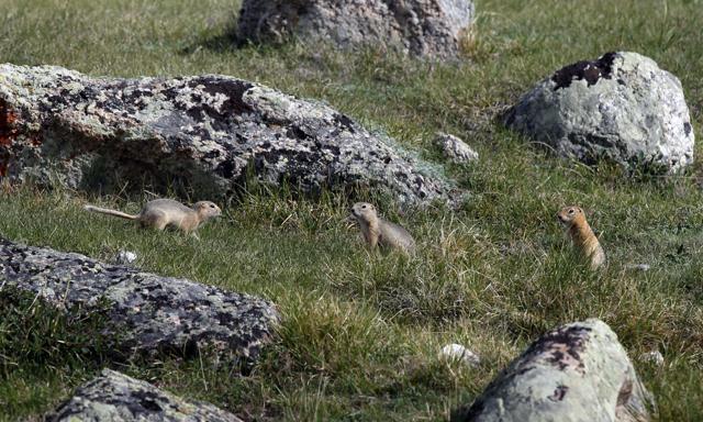 흰죽지-1-4-땅다람쥐-2.jpg