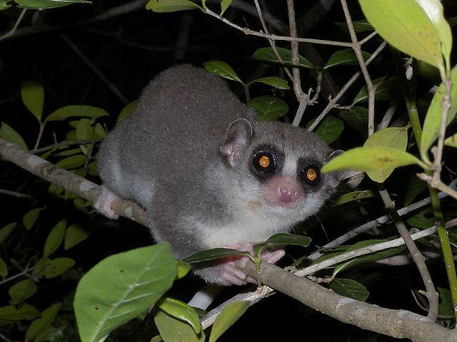 Frank Vassen_640px-Fat-tailed_Dwarf_Lemur,_Kirindy,_Madagascar.jpg