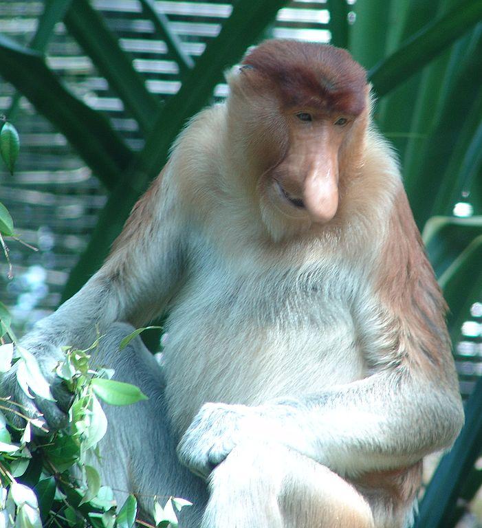 Drew Avery_701px-Probiscis_Monkey_Nasalis_larvatus.jpg