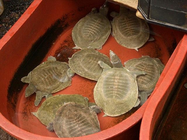 E8976-Namdaemun-Turtles-sold-in-ginseng-shop-1.jpg