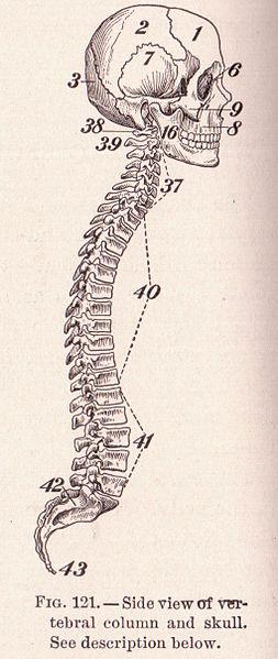 Sue Clark_253px-Pg_192_Skull_and_Spine.jpg