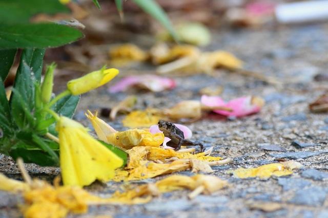 두꺼비 유생 (3).JPG