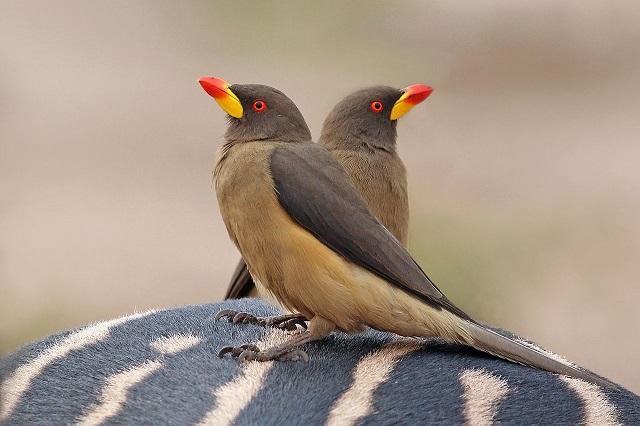 Charlesjsharp _Yellow-billed_oxpeckers_(Buphagus_africanus_africanus)_on_zebra-1.jpg
