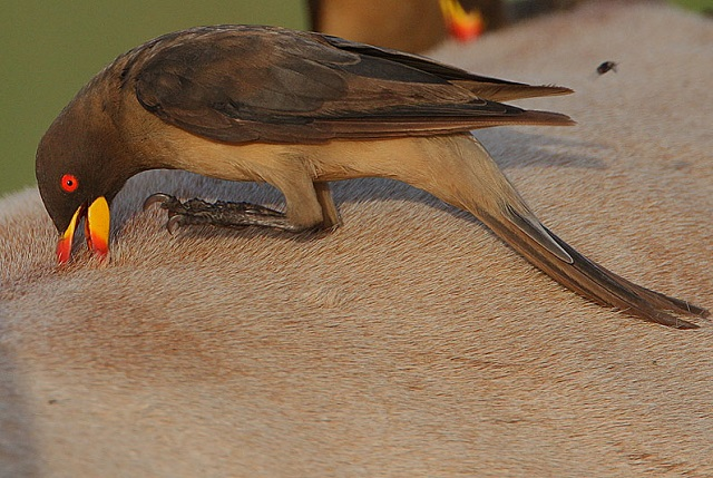 Steve Garvie_Flickr_-_Rainbirder_-_Yellow-billed_Oxpecker_(Buphagus_africanus).jpg
