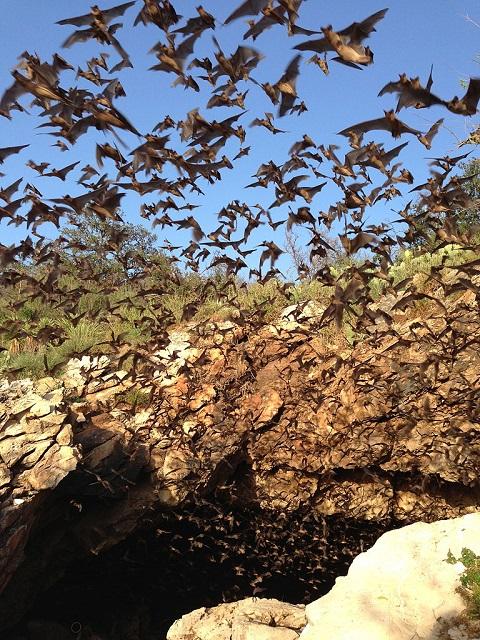 Bats_emerging_from_Davis_Cave_s(9415997068).jpg