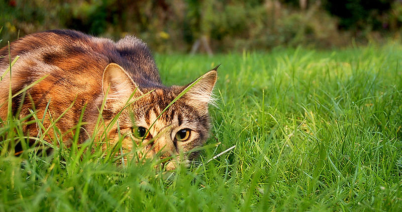 Jennifer Barnard_800px-Catstalkprey.jpg
