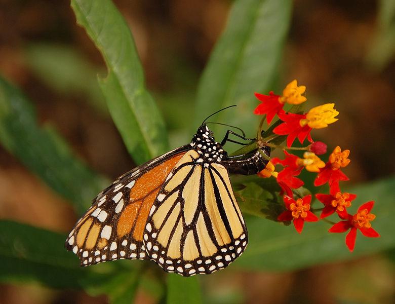 Derek Ramsey _780px-Monarch_Butterfly_Danaus_plexippus_Laying_Egg_2600px.jpg