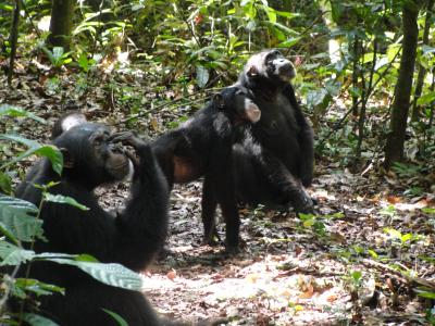 This image shows chimpanzees gazing up tree crowns in search for fruit_ammie Kalan.jpg