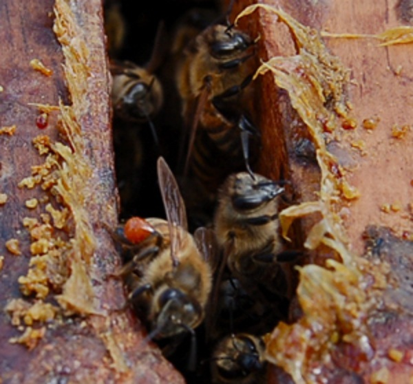 Yello_Honey-Bees-propolis.jpg