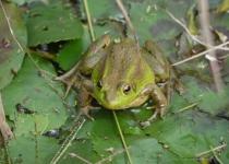 '멸종위기종' 맹꽁이·금개구리 강제이주 그후…
