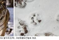 한국호랑이 과연 살아있을까