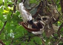 2m 보아왕뱀, 원숭이 통째로 꿀꺽