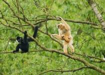 멸종위기 긴팔원숭이 집단 서식지 베트남 정글서 발견