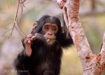 침팬지와 고릴라도 약초 먹는다