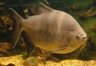 아마존 숲 지키는 대형 물고기