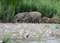 멧돼지의 농가·도심 습격은 도토리의 저주