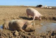 돼지는 하루 15번까지 진흙탕 목욕 즐긴다
