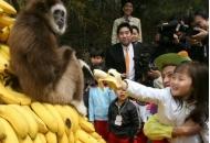 바나나, 추억으로만 남은 과일 될 수 있다