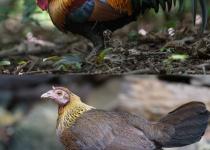 세계를 '정복'한 닭, 어디서 어떻게 퍼졌나