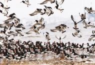 서천 개펄에 검은머리물떼새 1500 마리 큰 집단