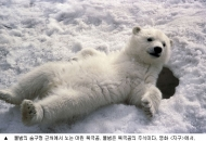 북극곰, 물범 없으면 산딸기 따먹으면 되고?