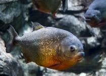 식인 물고기 피라냐의 경고 목소리는 '컹컹'