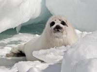 캐나다 바다표범 사냥 시작